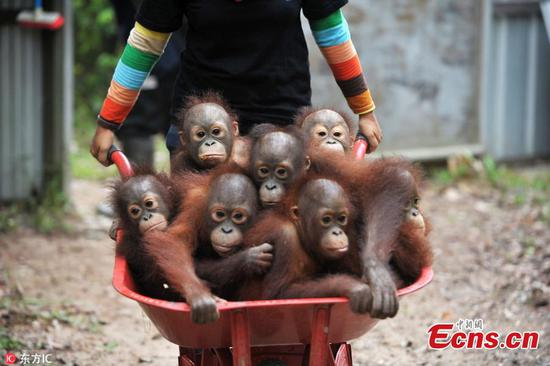 Baby orangutans go back to school to learn survival skills