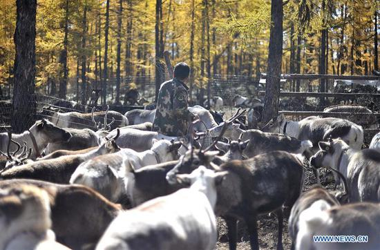 Reindeer breeding base in Yue'anli Forest Farm in Inner Mongolia