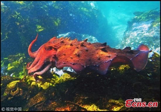 Giant Cuttlefish, dubbed 'masters of disguise', bred in the UK